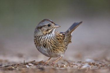 Lincoln_s_Sparrow_Larry_Ditto_MG_9225