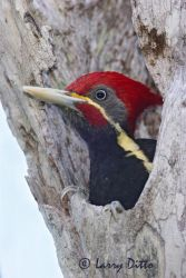 Lineated_Woodpecker_Larry_Ditto_mg_5023