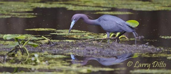 Little Blue Heron feeding, Caddo Lake, Texas