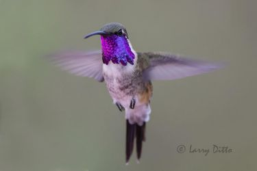 Lucifer Hummingbird male hovering in flight, west Texas, USA