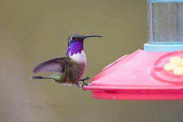 Lucifer Hummingbird male landing at feeder, west Texas, USA