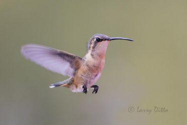 Lucifer Hummingbird, female hovering in flight