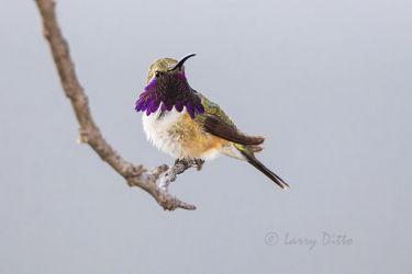 Lucifer Hummingbird male perched