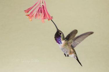 Lucifer Hummingbird male feeding, w. Texas