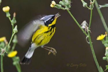 Magnolia_Warbler_Larry_Ditto_MG_1983