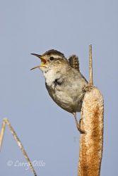 Marsh Wren, singing from cattail, June