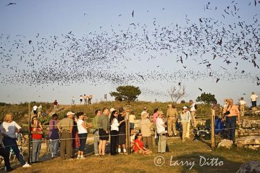 Bats, Mexican Free-tailed