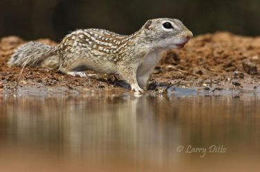 Mexican Ground-Squirrel at photoblind water hole