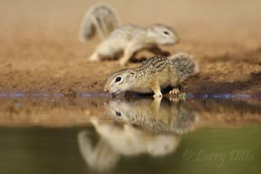 Mexican_Ground-squirrel_Larry_Ditto_MG_2968