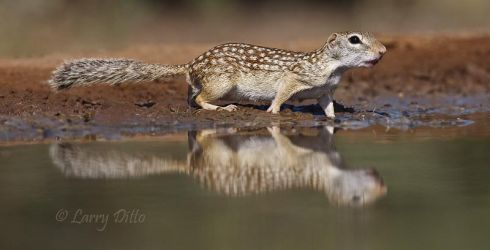 Mexican_Ground_Squirrel_Larry_Ditto_70K6092