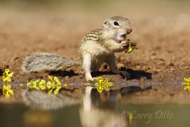 Mexican_Groundsquirrel_Larry_Ditto_MG_3251