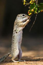 Mexican Groundsquirrel eating anaqua fruit, s. Texas