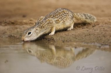 Mexican Groundsquirrel drinking, south Texas ranch, spring