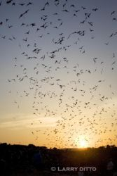 Bats, Mexican_free-tailed