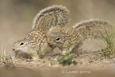 Mexican_ground-squirrel_Larry_Ditto