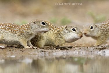 Mexican_grounds-quirrel_3_Larry_Ditto