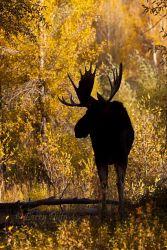 Moose_70K0219