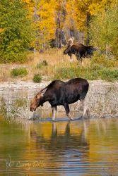 Moose_70K9918