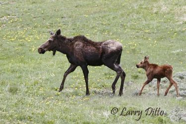 Moose_Larry_Ditto_MG_1132