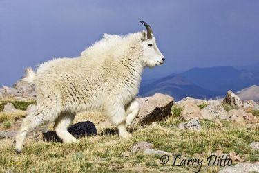 Mountain Goat (Oreamnos americanus) female running on mountain top, Colorado