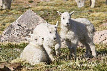Mountain_Goat_Larry_Ditto_X0Z3974
