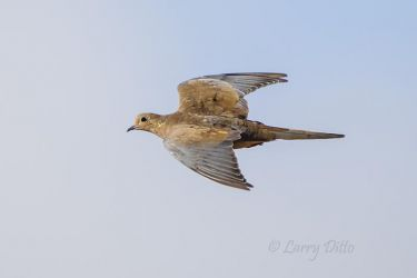 Mourning_Dove_79A5918