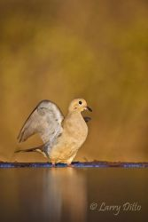 Mourning Dove (Zenaida macroura) taking flight from pond