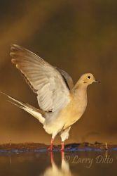Mourning Dove (Zenaida macroura) flushing from south Texas pond at sunset