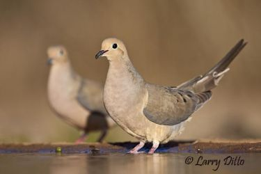 Mourning_Dove_Larry_Ditto_MG_0637