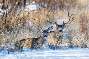 Mule_Deer_51U2492