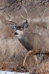 Mule_Deer_51U3472