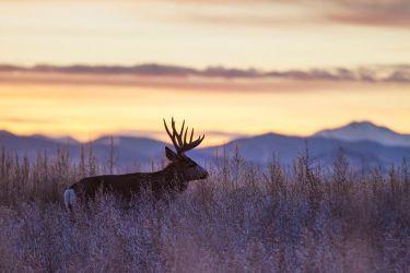Mule_Deer_IMG_9715