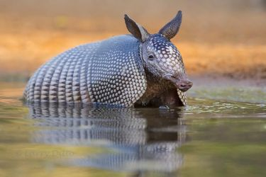 Nine-banded Armadillo cooling in ranch pond