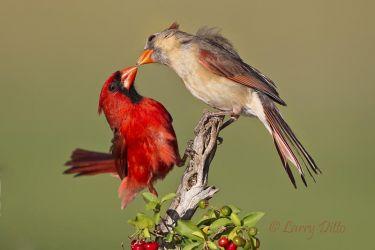 Northern Cardinals_51U3600
