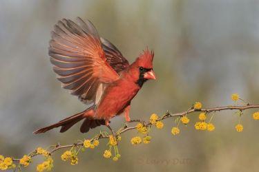 Northern Cardinal male landing