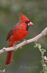 Northern_Cardinal_Larry_Ditto_70K1347