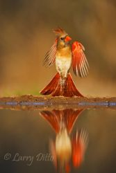 Northern_Cardinal_Larry_Ditto_70K3628