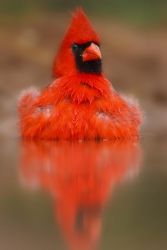 Northern_Cardinal_Larry_Ditto_70K7072