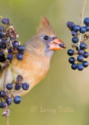 Northern_Cardinal_Larry_Ditto_MG_0519