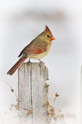 Female Northern Cardinal on picket fence, n. Texas winter