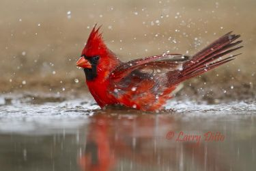 Northern_Cardinal_Larry_Ditto_MG_4495