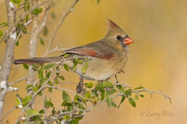 Northern Cardinal female at sunset
