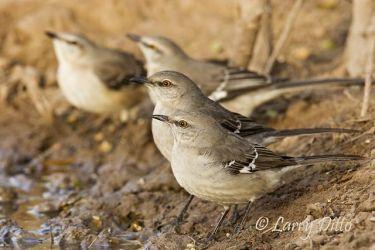 Mockingbirds drinking