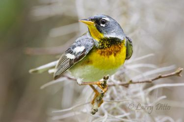 Northern_Parula_Larry_Ditto_MG_3791