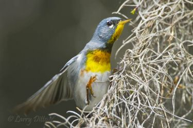 northern parula male in spanish moss