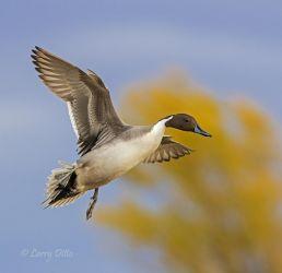 Northern Pintail landing