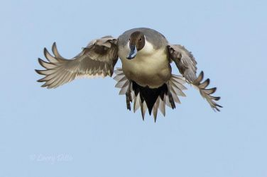 Northern_Pintail_79A1004