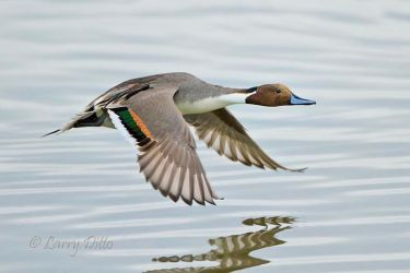 Northern_Pintail_Larry_Ditto_MG_8485