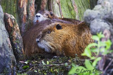 Nutria_Larry_Ditto_MG_3727