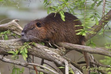 Nutria resting on cypress roots, Caddo Lake, Texas